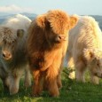 20th September 2008 The 2008 International Highland Cattle Show will take place in the City of Glasgow on Saturday the 20th of September. The Glasgow International Highland Cattle Show is […]