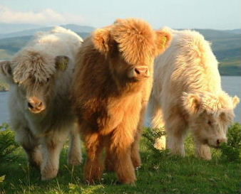 International Highland Cattle Show