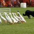 See farmer Mark with his amazing sheepdogs and duck display team at Loch Lomond Shores this summer.