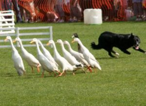 glasgow-vet-school-rodeo-duck-herding
